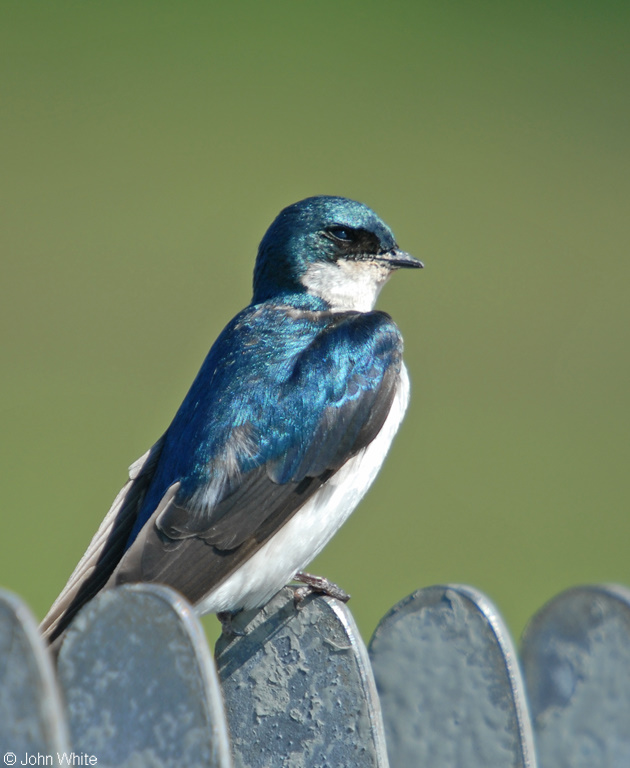 Tree Swallow (Tachycineta bicolor)002; Image ONLY