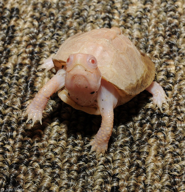 Albino Eastern Box Turtle (Terrapene carolina carolina)106; Image ONLY