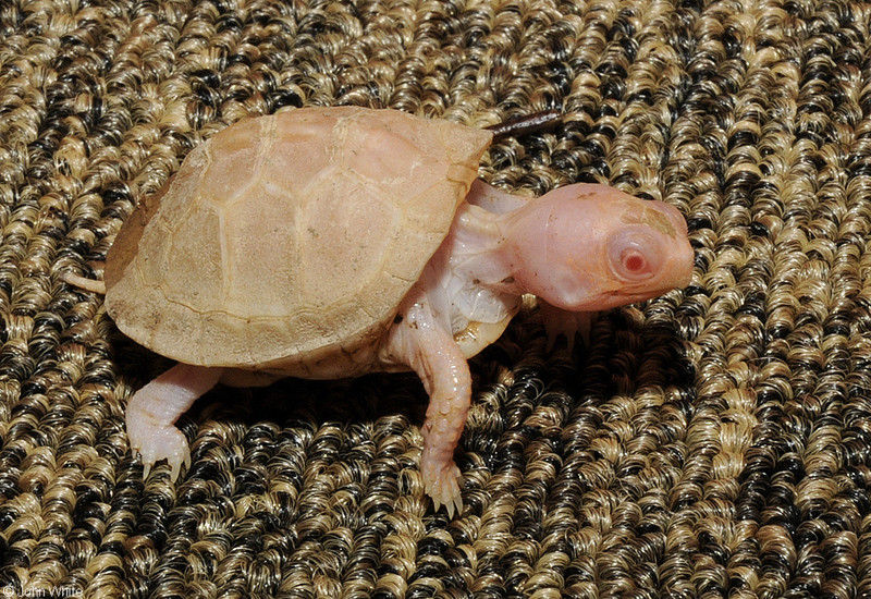 Albino Eastern Box Turtle (Terrapene carolina carolina)111; DISPLAY FULL IMAGE.