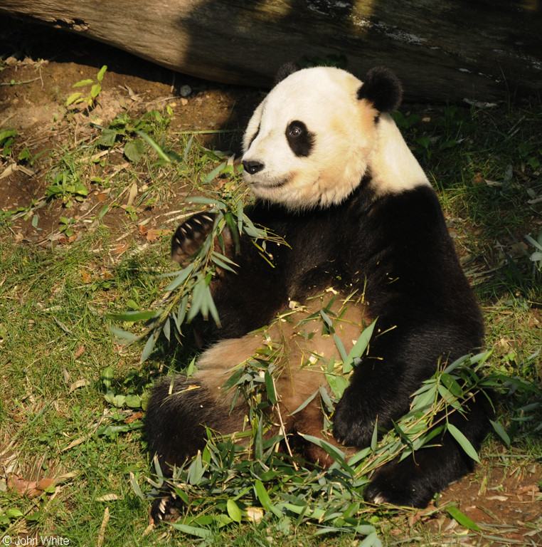 Giant Panda004; Image ONLY