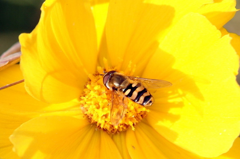 Hoverfly on flower; DISPLAY FULL IMAGE.