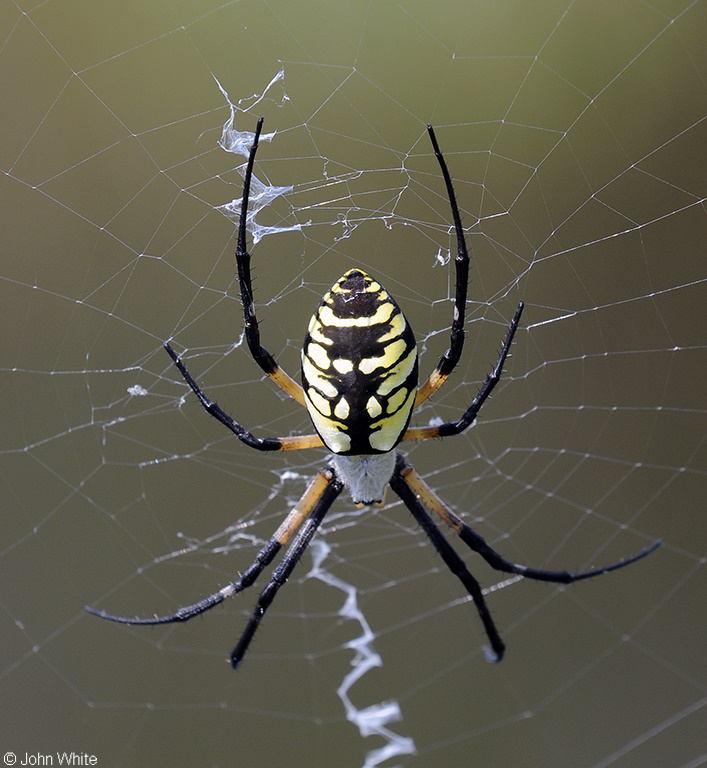 Black and Yellow Argiope (Argiope aurantia); Image ONLY