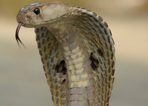 Jungle Animals: Cobra; Image ONLY