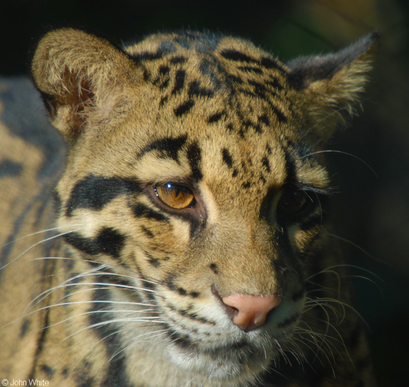 Clouded Leopard (Neofelis nebulosa)002; DISPLAY FULL IMAGE.