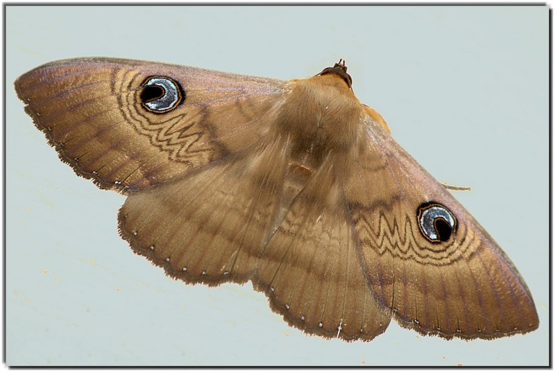 Lady Moth; DISPLAY FULL IMAGE.