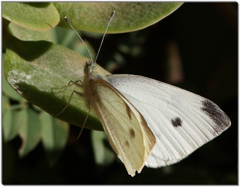 Cabbage White Butterfly (Pieris rapae); DISPLAY FULL IMAGE.
