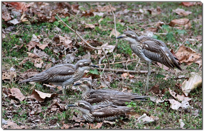 Curlew family; DISPLAY FULL IMAGE.