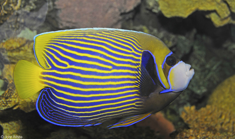 Emperor Angelfish (Pomacanthus imperator)002; DISPLAY FULL IMAGE.