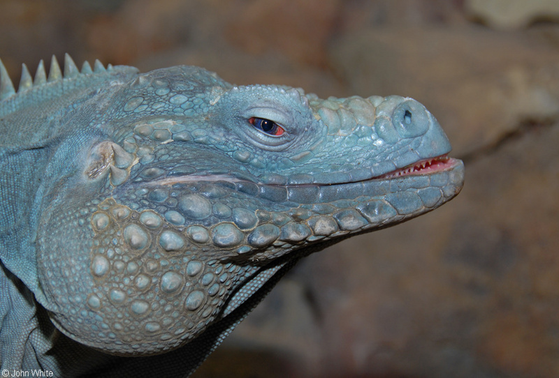 Grand Cayman Iguana (Cyclura lewisi)2; DISPLAY FULL IMAGE.