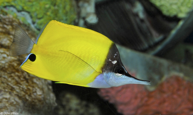 Longnose Butterflyfish (Forcipiger flavissimus).JPG