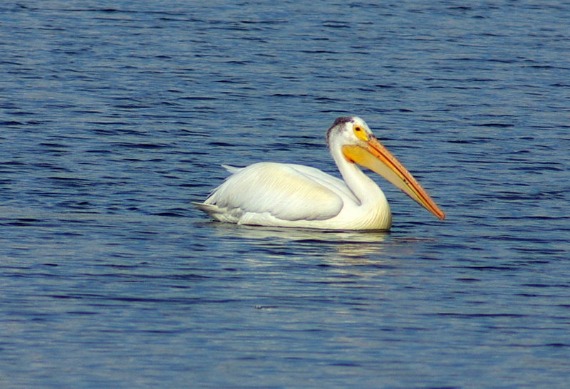 American white pelican; DISPLAY FULL IMAGE.