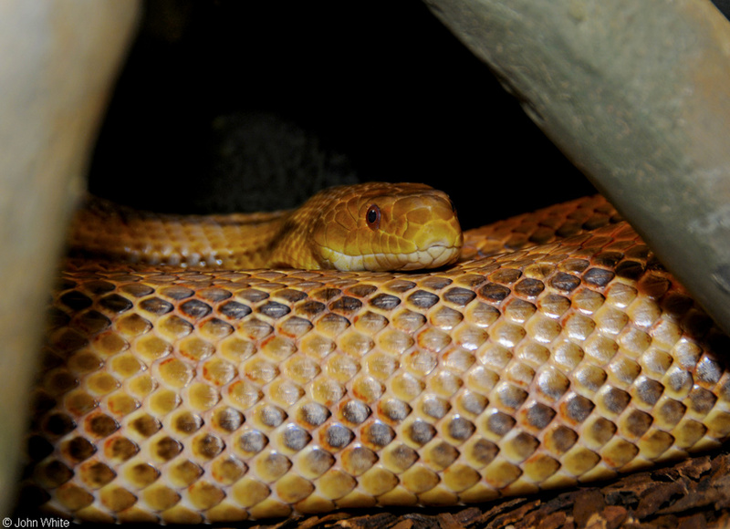 Eastern Ratsnake ( Pantherophis alleghaniensis); DISPLAY FULL IMAGE.
