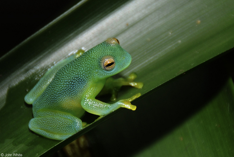 Glass Frog (Cochranella granulosa); DISPLAY FULL IMAGE.