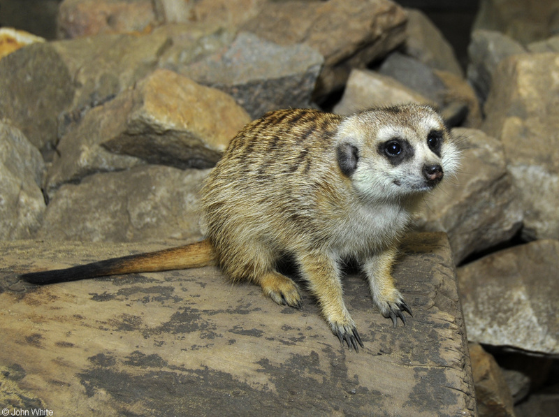 Meerkat (Suricata suricatta)001; DISPLAY FULL IMAGE.