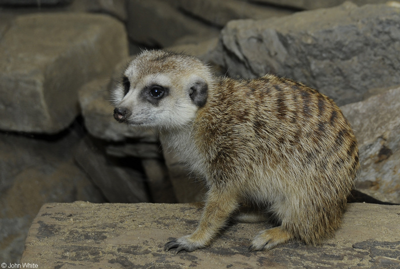 Meerkat (Suricata suricatta)002; DISPLAY FULL IMAGE.