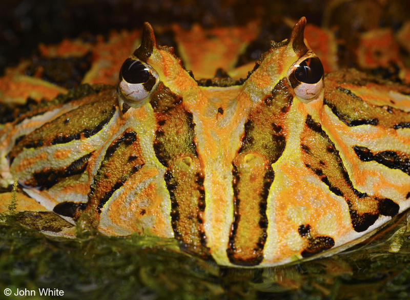 Ornate horned frog (Ceratophrys ornata); DISPLAY FULL IMAGE.