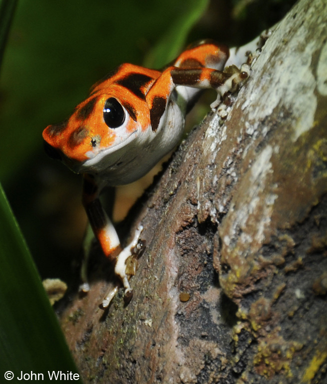 Strawberry Poison Frog (Oophaga pumilio); Image ONLY