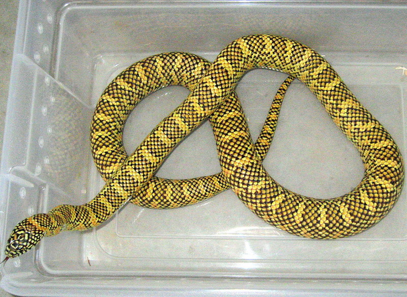 South Florida kingsnake (high-yellow brooksi); DISPLAY FULL IMAGE.