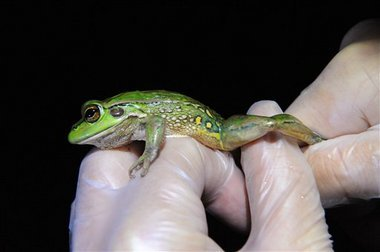 'Extinct' frog species found again after 30 years [Newsvine 2010-03-04]; Image ONLY