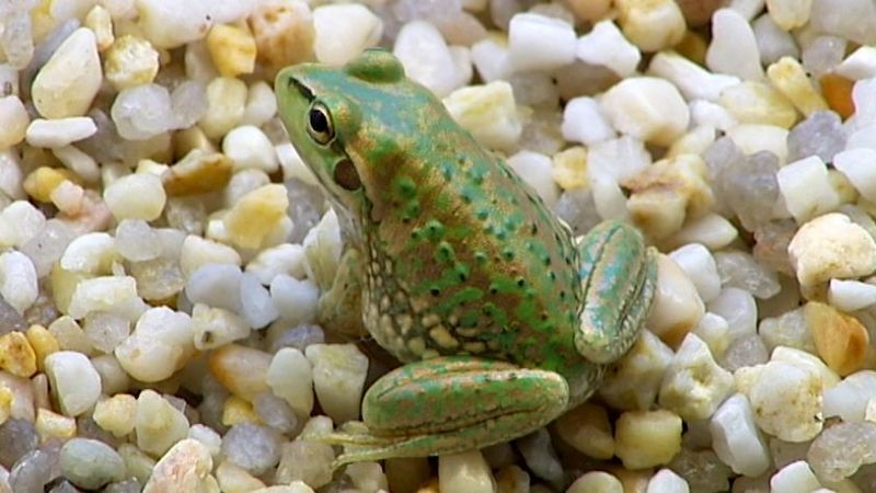 'Extinct' frog species found alive after 30 years [ABC 2010-03-04]; DISPLAY FULL IMAGE.