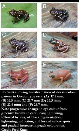 Remarkable new 'Colour changing' frog discovered on New Guinea island [WildlifeExtra 2010-03-10]; Image ONLY