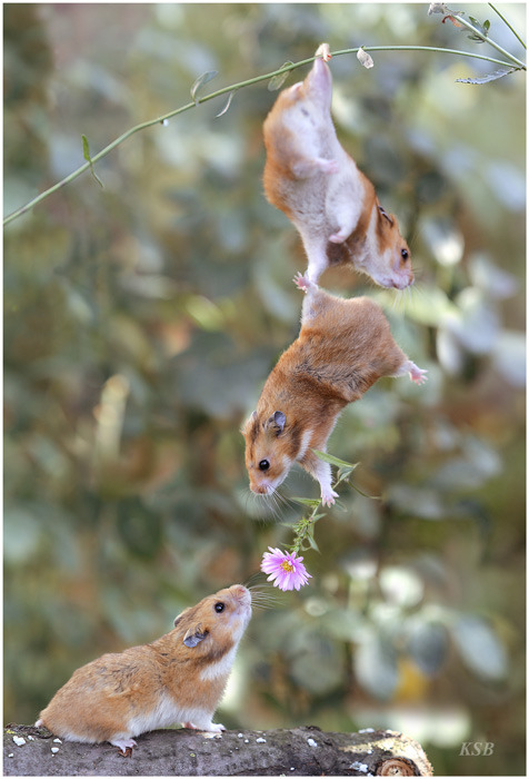 [Funny Animals] Flower Relay of Hamsters; Image ONLY