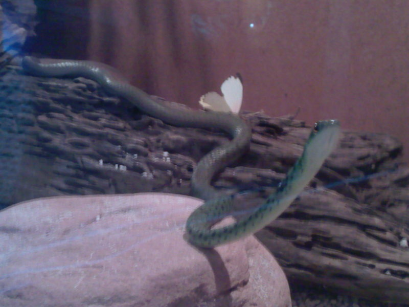 Green Tree snake; DISPLAY FULL IMAGE.