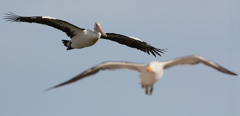 air traffic (Australian Pelican & Pacific Gull); DISPLAY FULL IMAGE.