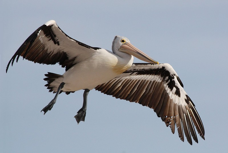 pelican flight 2; DISPLAY FULL IMAGE.