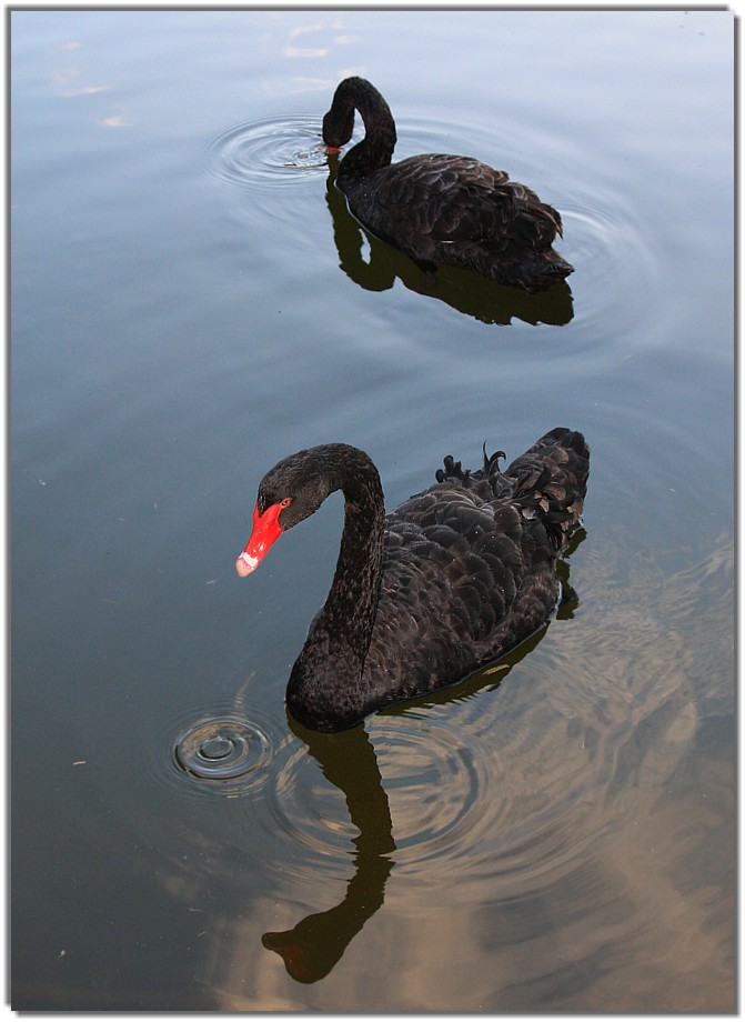 swan reflections; Image ONLY