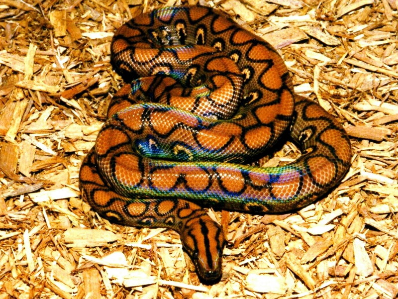 Brazilian Rainbow Boa; DISPLAY FULL IMAGE.
