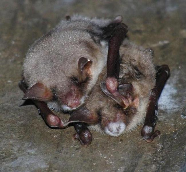 Mysterious Bat-Killing Disease Appears Harmless in Europe [LiveScience 2010-09-20]; Image ONLY