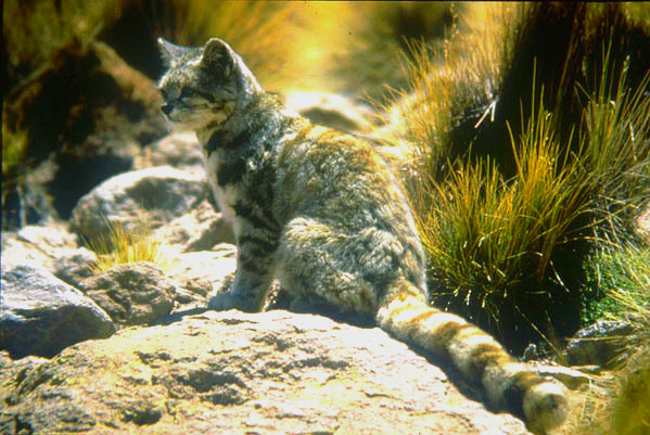 Mountain cat; Image ONLY