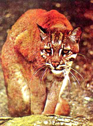Asian Golden Cat (Felis temminckii); Image ONLY