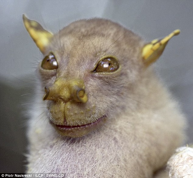 Tube-nosed bat which bears striking resemblance to Yoda [DailyMail 2010-10-06]; Image ONLY