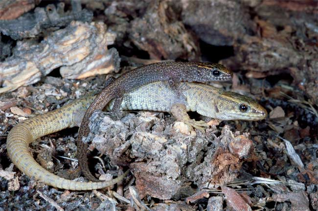 Hey Lizard Face, Want to Join My Social Group? [LiveScience 2010-10-07]; Image ONLY