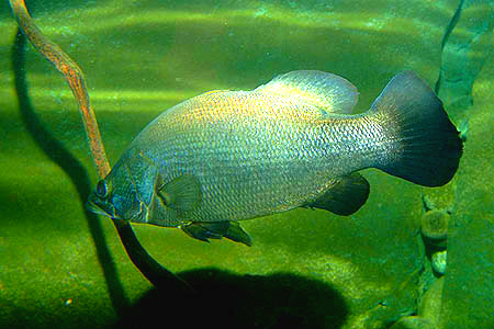 Nile perch (Lates niloticus); Image ONLY