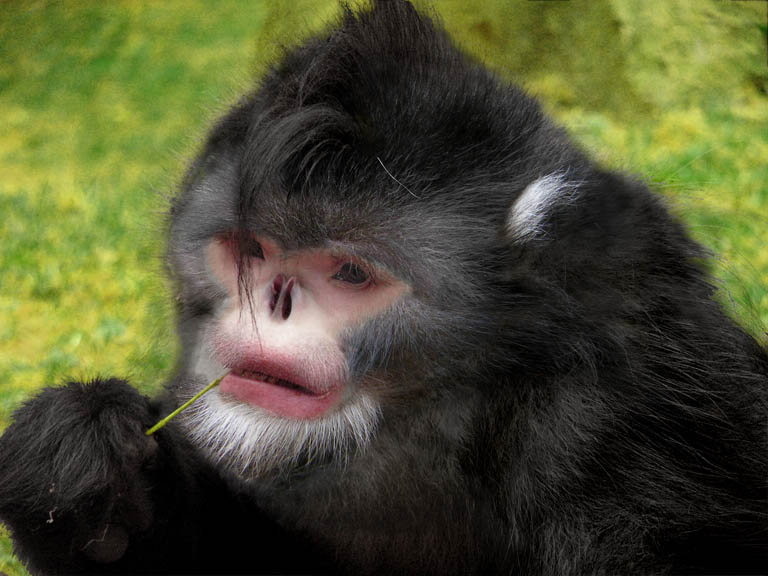 New Snub-Nosed Monkey Discovered in Northern Myanmar [AlphaGalileo 2010-10-25]; Image ONLY