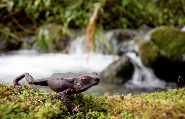 Tiny Trio of Amphibians Discovered in Colombia [LiveScience 2010.11.16]; Image ONLY