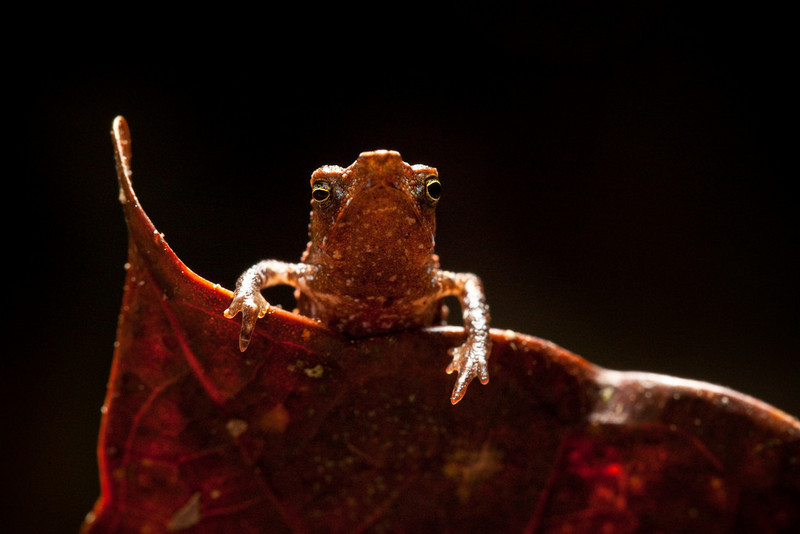 Lost Frogs Update: Three New Species Discovered in Colombia [Conservation-International 2010.11.16]; DISPLAY FULL IMAGE.