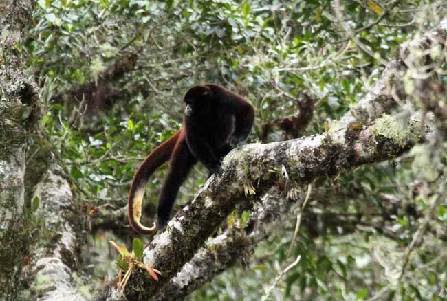 Surprise! Hidden Yellow-Tailed Woolly Monkey Colony Discovered [LiveScience 2010-11-23]; Image ONLY