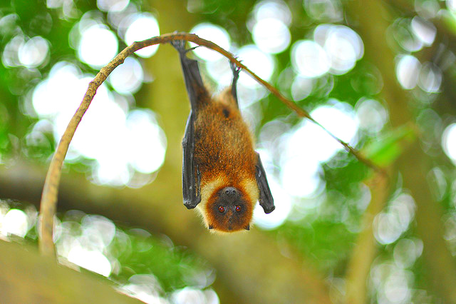 Ryukyu Flying Fox (Pteropus dasymallus); Image ONLY