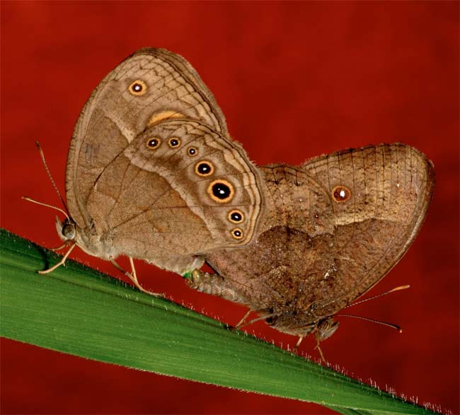 Cool Weather Heats Up Female Butterfly Quest for Sex [LiveScience 2011-01-07]; Image ONLY