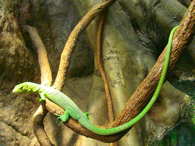 Green tree monitor (Varanus prasinus); Image ONLY