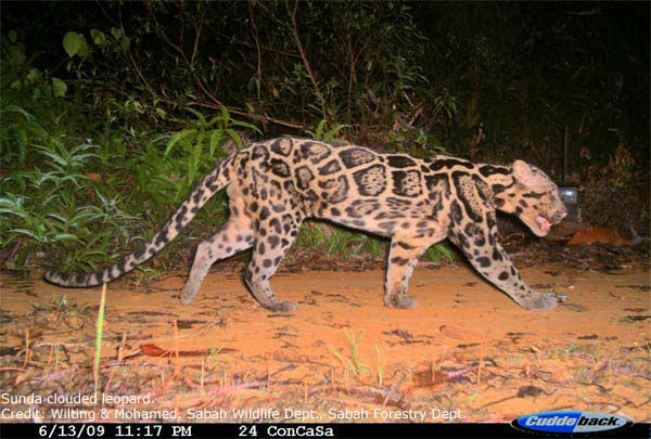 New Clouded Leopard Species Comes in 2 Unique Types