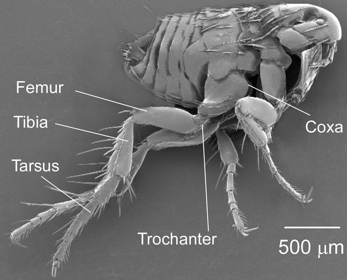 For High-Jumping Fleas, the Secret's in the Toes [LiveScience 2011-02-10]; Image ONLY