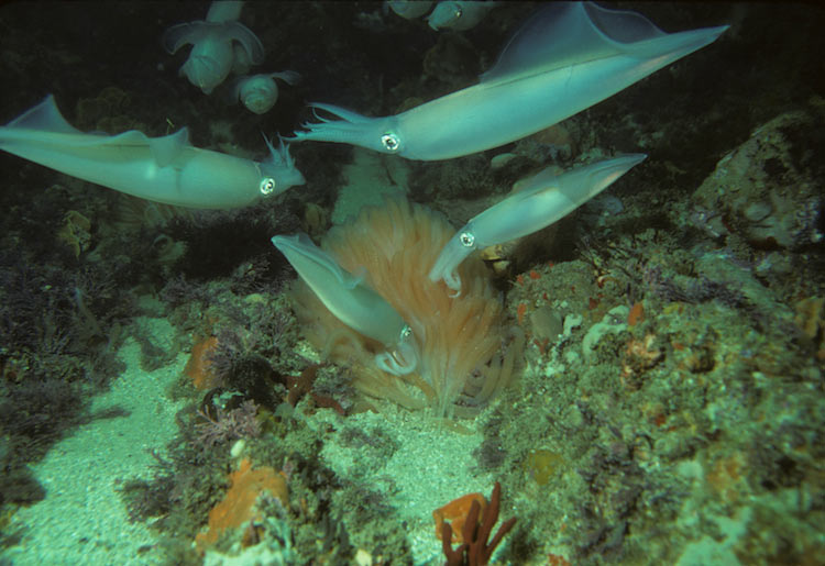 This Pheromone Puts Squid in the Mood — To Fight [LiveScience 2011-02-10]; Image ONLY
