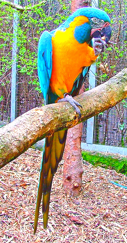 Blue-throated macaw (Ara glaucogularis); Image ONLY