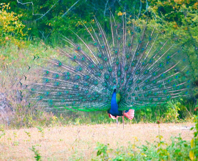 Indian peafowl (Pavo cristatus); Image ONLY
