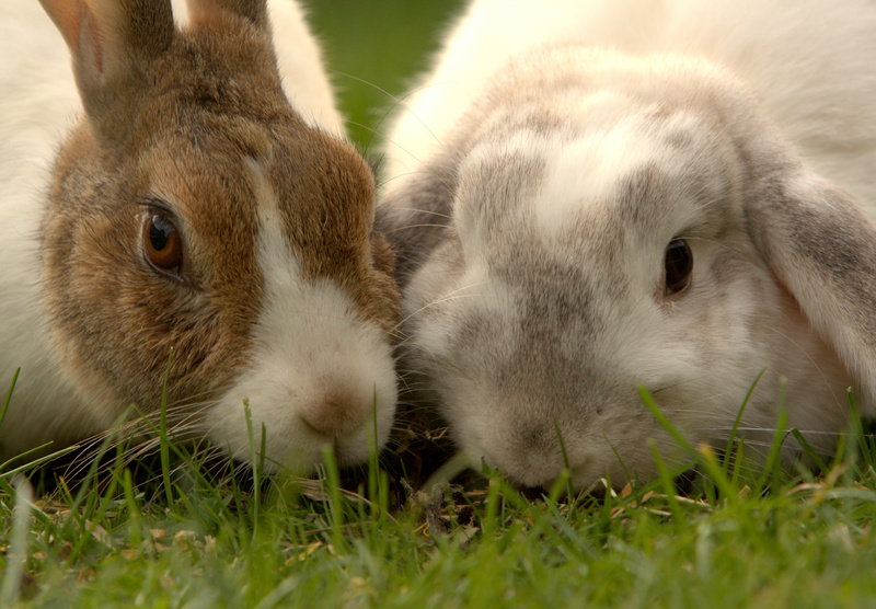 French Lop and Dutch Rabbit; DISPLAY FULL IMAGE.